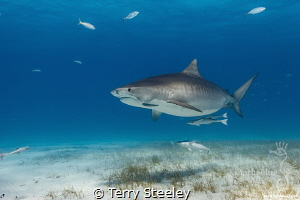 Tiger shark encounters @ Fish Tales, Bahamas by Terry Steeley