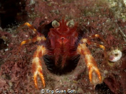 Squat Lobster taken in Anilao. using SMC close up lenses. by Eng Guan Goh