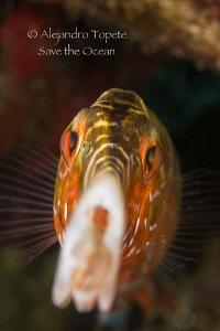 Trumpet Fish close up, Flamingo Reef Bonaire by Alejandro Topete