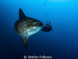 BFG. Southern Ocean Sunfish - Mola ramsayi. Gilli Mimpang... by Stefan Follows