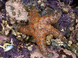 Ochre star matching with urchins by Chris Lawford