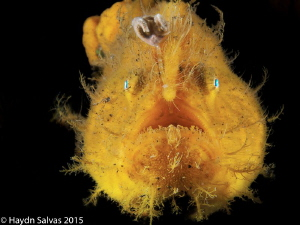 Was amazing to get to finally see one of these frog fish. by Haydn Salvas
