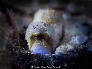 squid eye by Marc Van Den Broeck