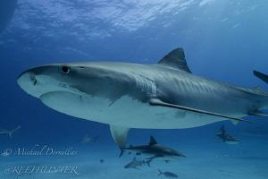Tiger shark free diving by Michael Dornellas