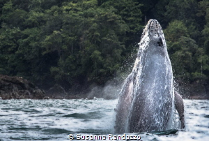 young humpback whale jumping in the ocean by Susanna Randazzo