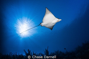 """""""Air Space"""" A Spotted Eagle Ray soars over head under th... by Chase Darnell"""
