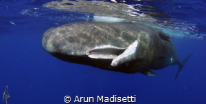 Sperm whale dentition, shows the holes in the top jaw whe... by Arun Madisetti