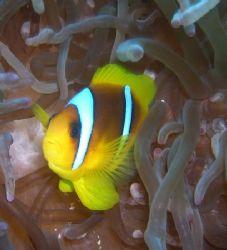 Clownfish taken at Pinkies Wall, Sharm el Sheikh with Nik... by Nikki Van Veelen