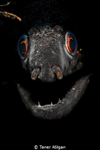 Snooted eel portrait by Taner Atilgan