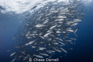 """""""Snappin"""" A huge school of Snapper hanging out in the bl... by Chase Darnell"""