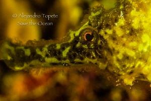 Seahorse close up, leonor  Bonaire by Alejandro Topete