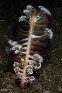 Commensal shrimps on the sea pen. Dauin, Dumaguete. by Mehmet Salih Bilal