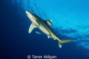 Oceanic Whitetip by Taner Atilgan