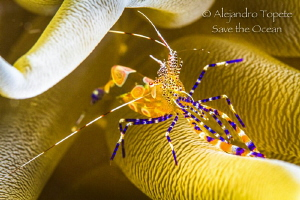 Fantasy Shrimp in house, Knife Reef  Bonaire by Alejandro Topete