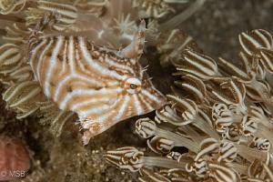 Radial filefish. by Mehmet Salih Bilal