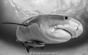 The Grey Lady Tiger shark at Tiger Beach, Bahamas by Tanya Houppermans