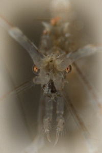 skeleton shrimp by Doris Vierkötter