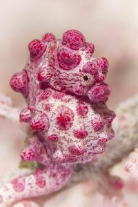 another pygmy by Doris Vierkötter