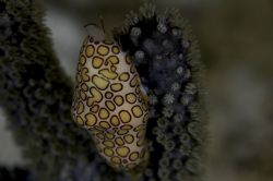 Flamingo tongue on the reefs of Curacao by Martin Van Gestel