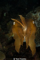 Cuttlefish making faces by Todd Moseley