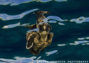 The beginning of life starts as we release baby turtles i... by Steven Anderson