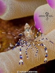 Shrimply Bluetiful  Spotted Cleaner Shrimp (Periclimene... by Manuel Cabanillas