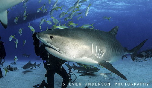 Diving at a famous spot off the Bahamas called Tiger Beac... by Steven Anderson