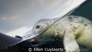 Grey seal, Farne Islands UK