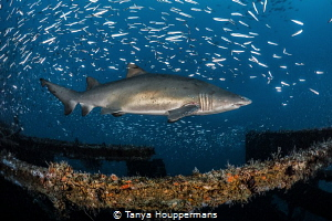Rough Around The Edges A female sand tiger shark shows s... by Tanya Houppermans