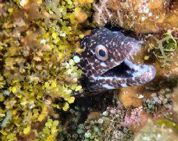 Spotted Eel off of Cayman Brac. by Steve Wurfel
