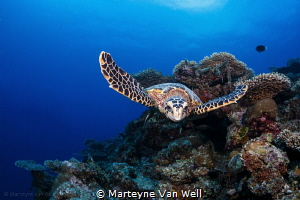 A curious hawksbill turtle taking a look at the dome port by Marteyne Van Well