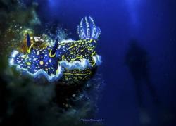 Felimare Picta & diver by Yildirim Gencoglu