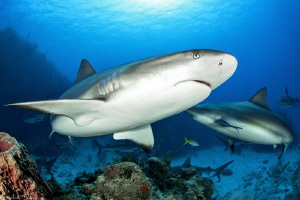 caribbean reef sharks (gardens of the queen_Cuba) by Mathieu Foulquié