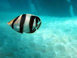 Black banded butterflyfish at Aguadilla. by Yamil Merced