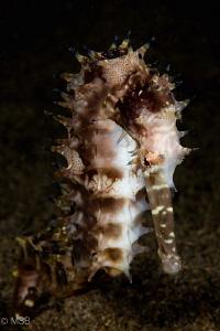Thorny seahorse. by Mehmet Salih Bilal