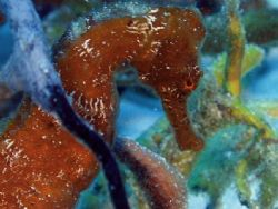 Sea Horse, Paradise Reef cozumel Mexico, Cannon s-50 by Steven Whitehead