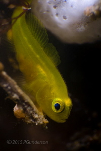 Yellow Goby  by Pat Gunderson