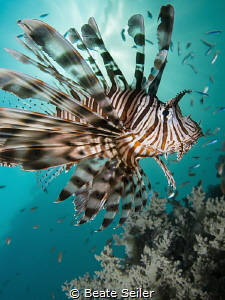 Lionfish by Beate Seiler