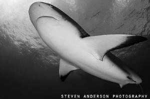 Striking the pose.... Reef Sharks are quick to make a pre... by Steven Anderson