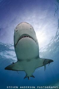 The more sun the more sharks!!! Lemon Sharks swim and pat... by Steven Anderson