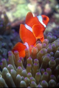 Clown fish Manado by Ian Chapman