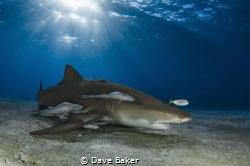 Lemon shark by Dave Baker
