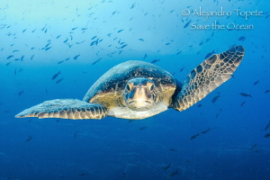 Green Turtle front, Isla Wolf Galápagos by Alejandro Topete