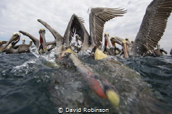 Photograhing brown pelicans who wait for the local fisher... by David Robinson