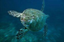 Nikon D2x-Nikon strobe-sealux housing-turtle- by Manfred Bail