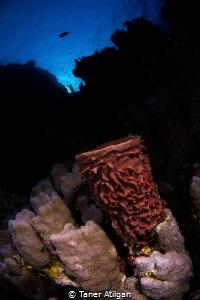 Hard coral close up by Taner Atilgan