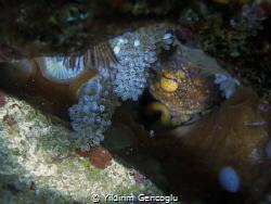 Octopus and her eggs. by Yildirim Gencoglu