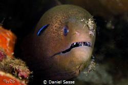 Giant Moray with 2 Cleaner Shrimps and a cleaner wrasse. ... by Daniel Sasse
