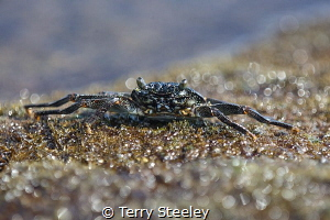 Black crab on the shore. Black sand beach, Kona by Terry Steeley