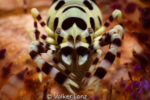 Coleman shrimp